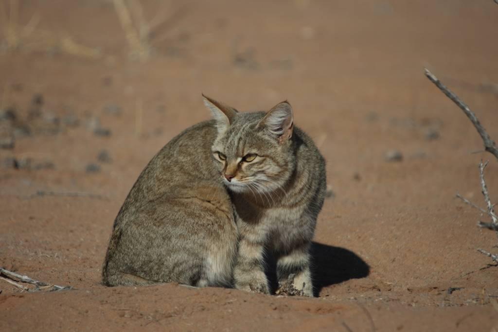 ᐉ степной кот: 63 фото дикой кошки felis libyca, описание, виды - zoogradspb.ru