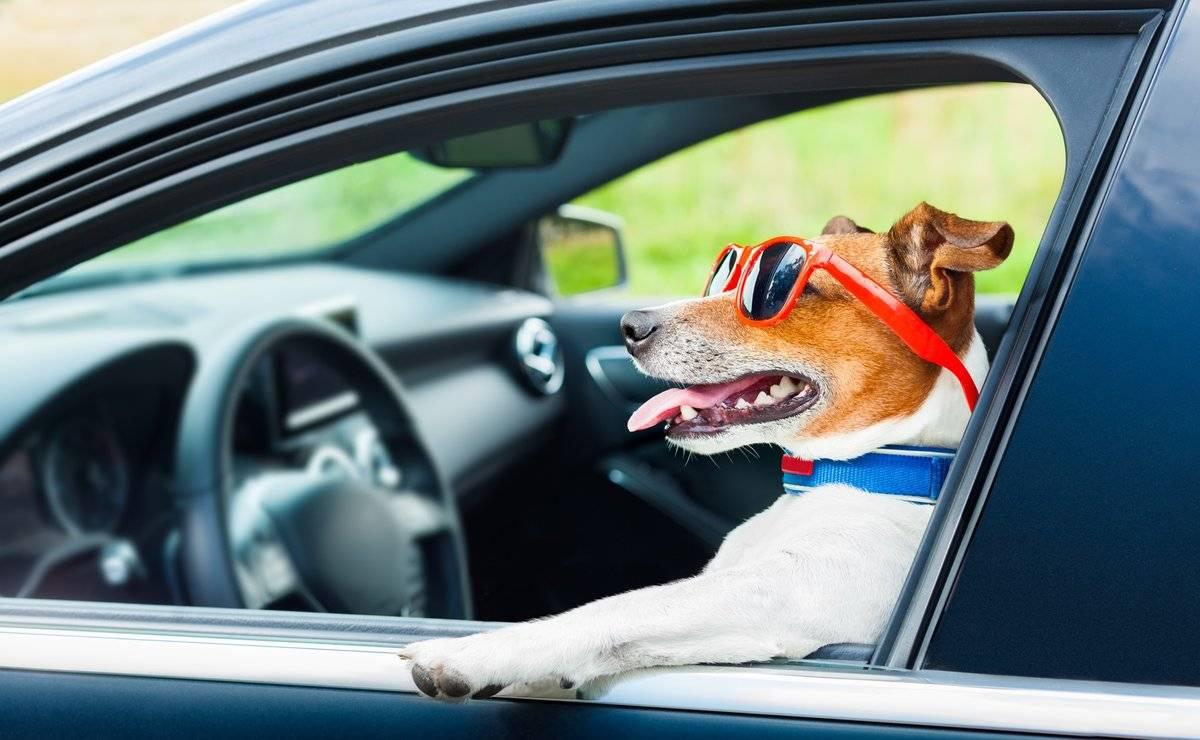 Собаку укачивает в машине: почему, причины, что делать
