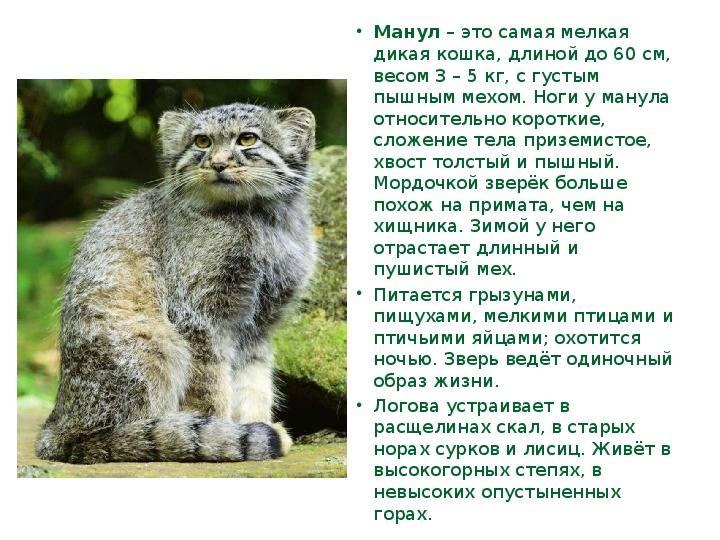 Манул (фото): свободный степной отшельник или милый домашний питомец? - kot-pes