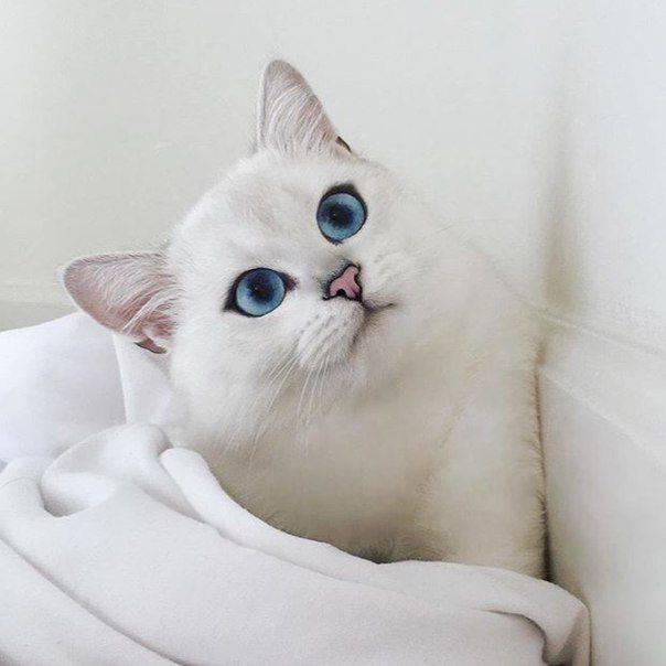Дымчатый кот: обзор пород