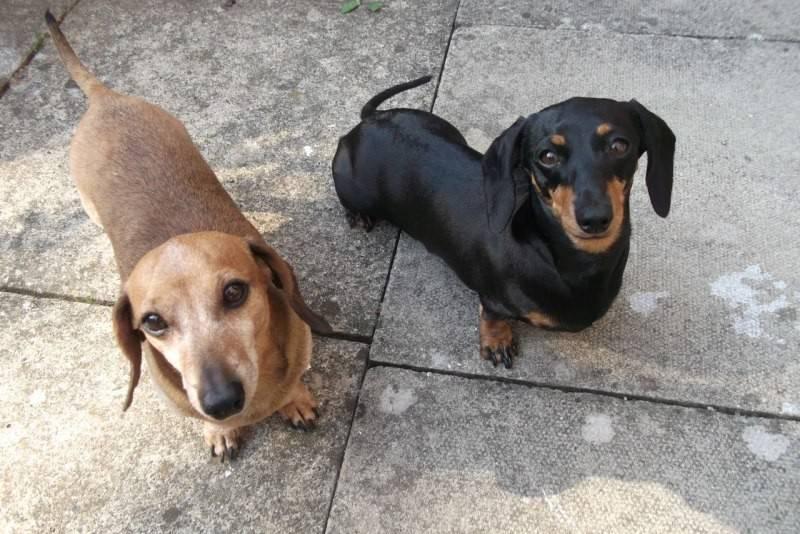 Как выглядит рыжая такса: фото собак, внешнее описание, возможные размеры и разновидности по типу шерсти