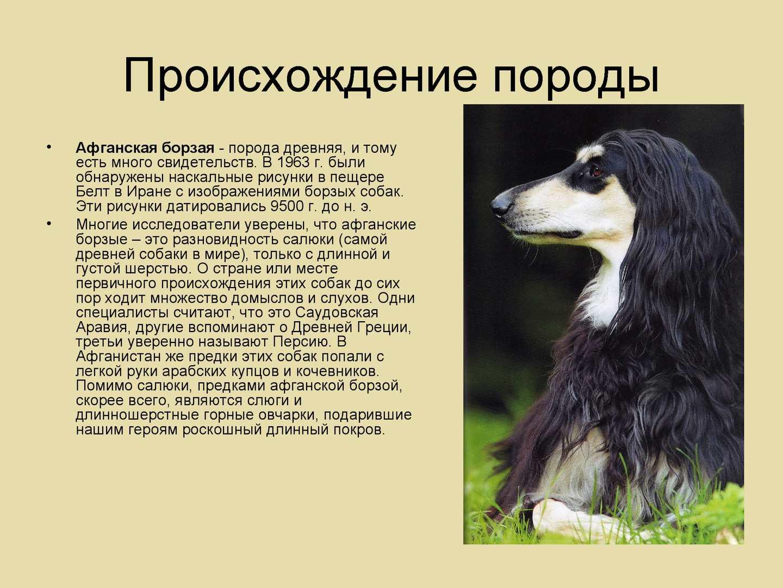 Афганская борзая - порода собак - информация и особенностях | хиллс