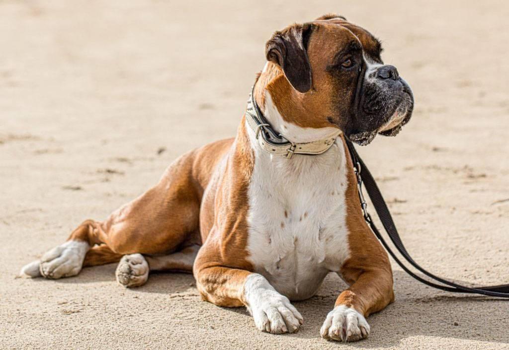 Собака боксер - уравновешенный охранник и друг семьи (95 фото)