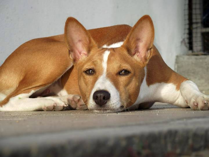 Басенджи: все о собаке, фото, описание породы, характер, цена