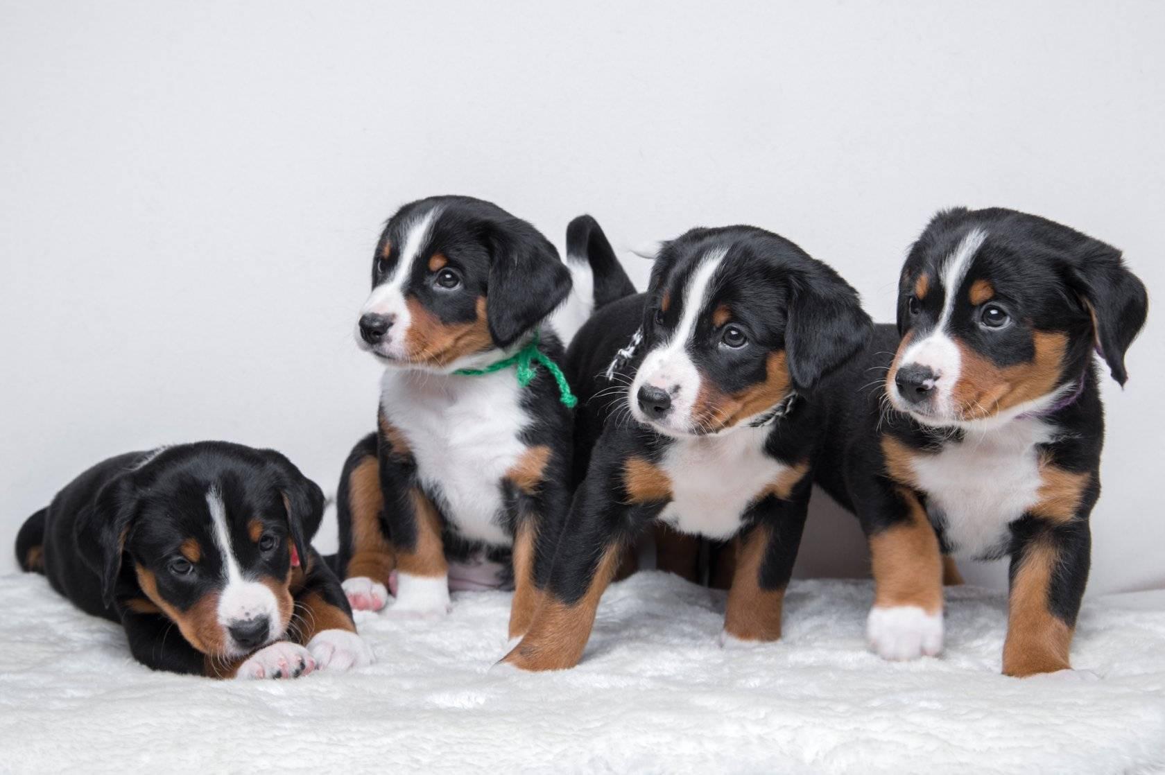 Аппенцеллер зенненхунд: фото и описание собаки. аппенцеллер зенненхунд: хулиган, легко поддающийся дрессировке