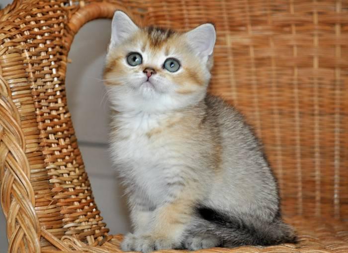 Золотая шиншилла кошка – особенности редкого окраса шерсти британской, шотландской, персидской пород