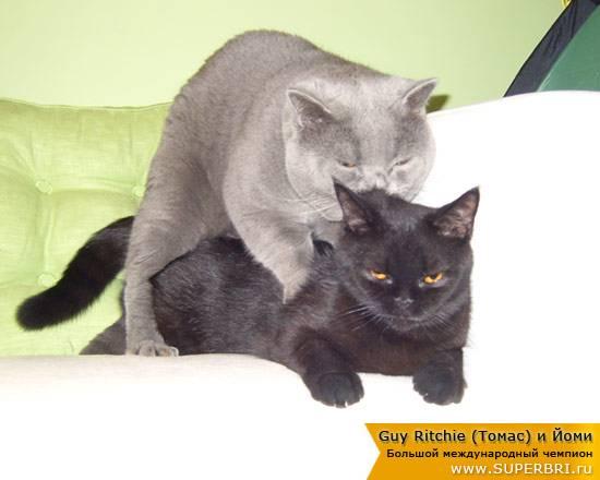 Спаривание кошек и котов: как проходит вязка, что делать хозяину, анатомические особенности половых органов у кошачьих, в том числе члена