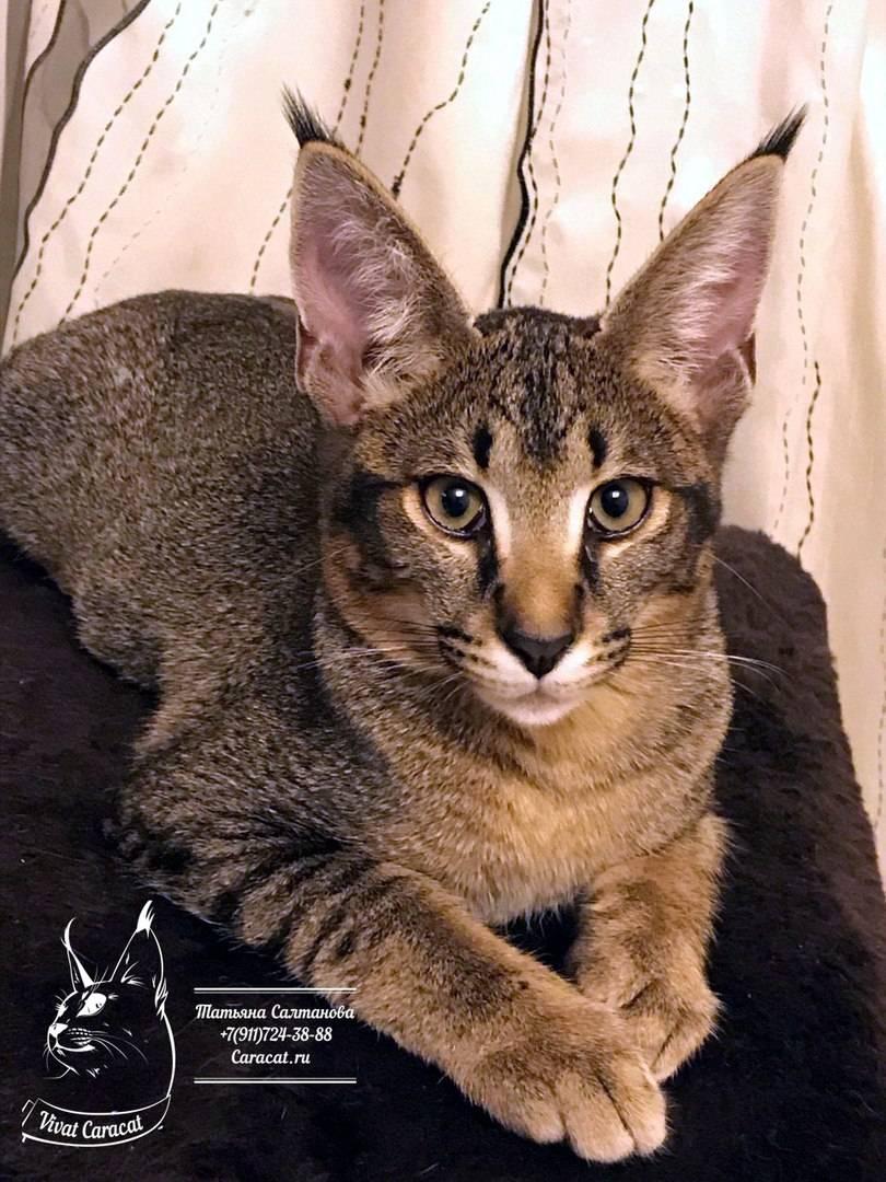 Каракет - происхождение, оскрасы, характер, уход, питание, факты, фото - всё о кошках и котах