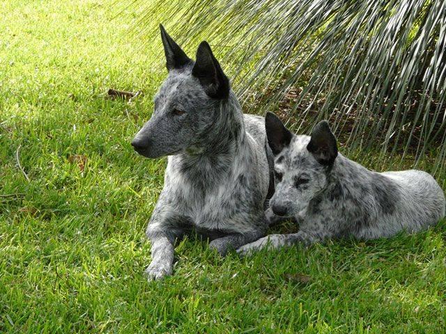 Австралийская пастушья собака (фото, описание породы)