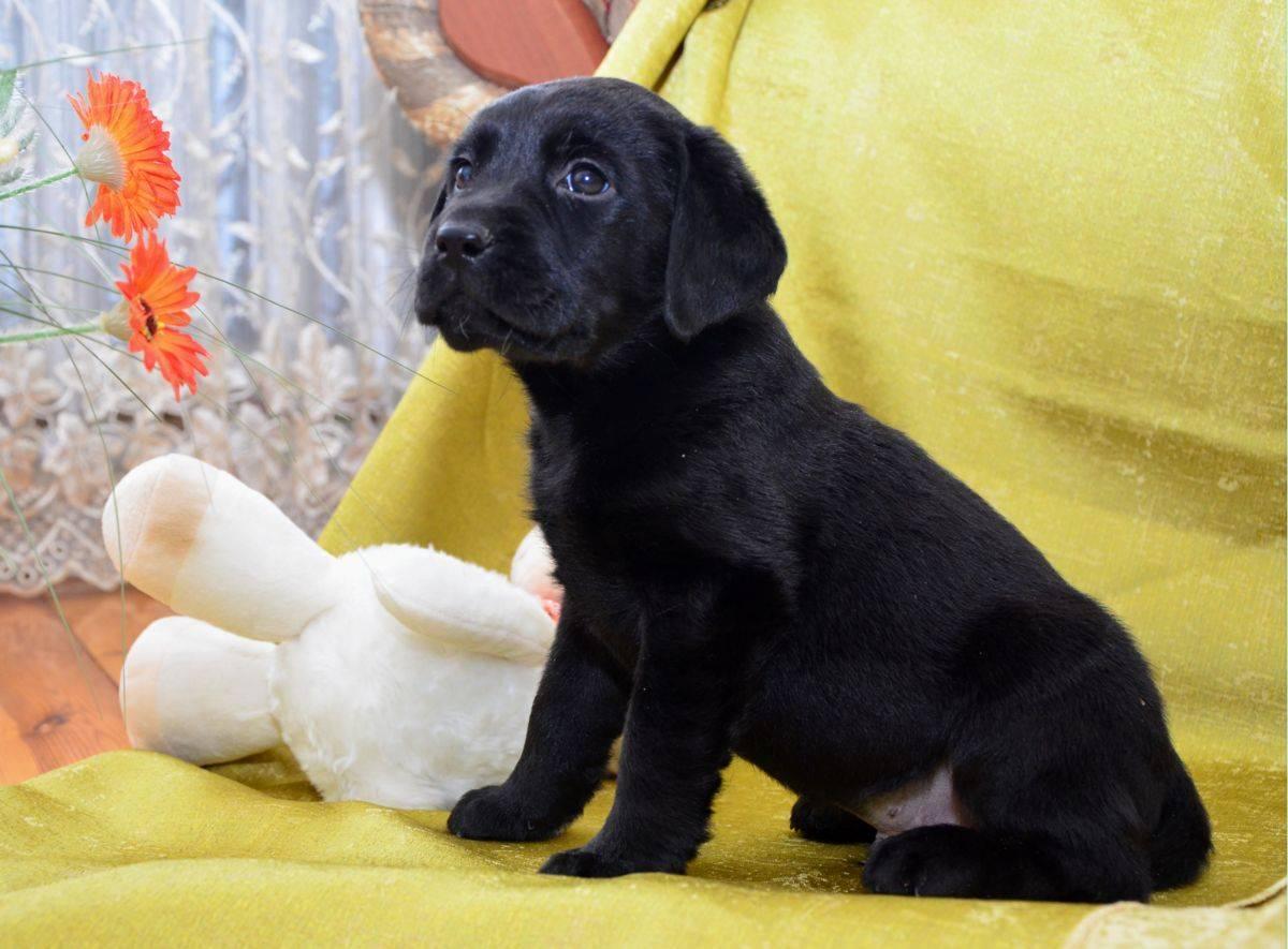 Клички для лабрадора-девочки: красивые и забавные имена собак для девочек большой породы