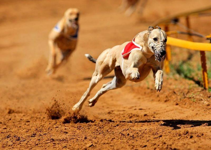 Самая быстрая собака в мире — рейтинг пород по скорости бега