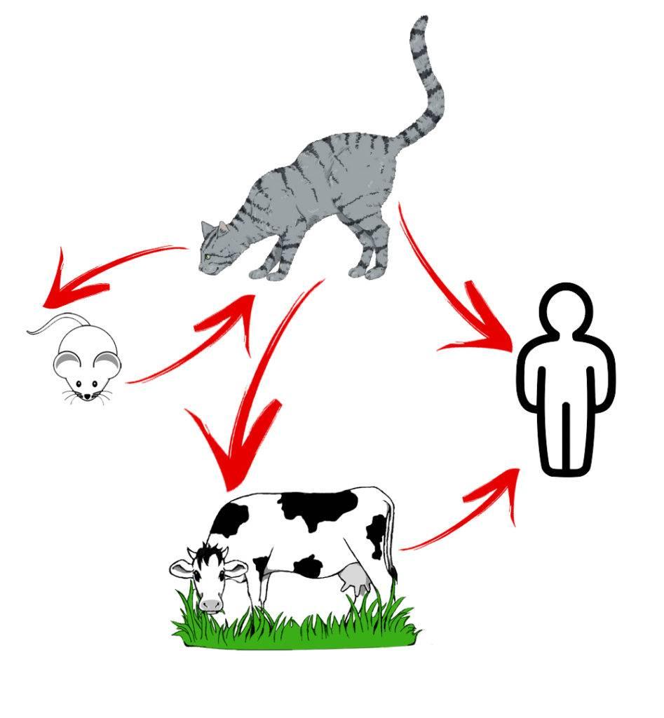 """Токсоплазмоз у кошек: причины, симптомы, лечение, прогноз, осложнения   блог ветклиники """"беланта"""""""
