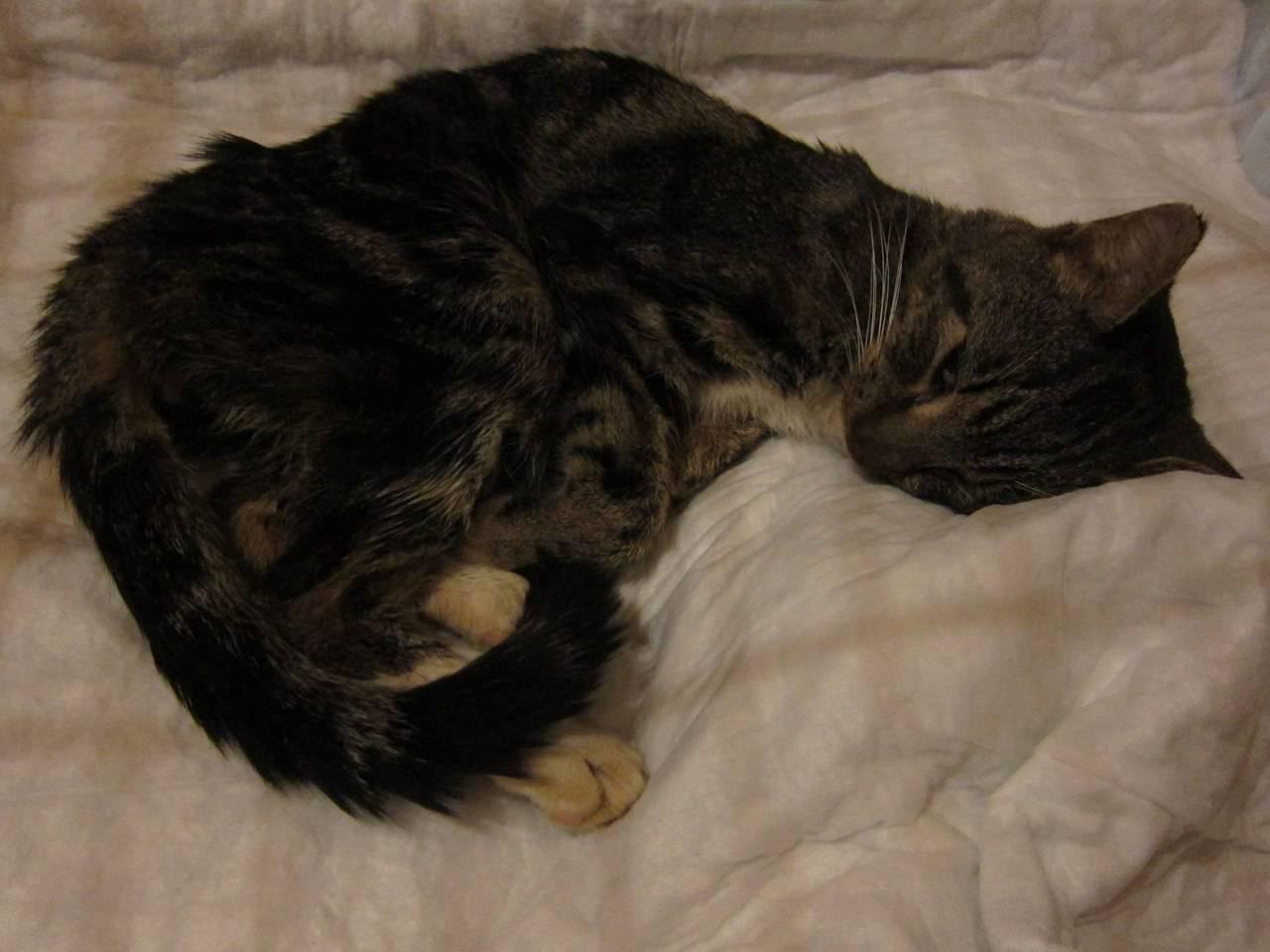 Почему кошки умирать уходят из дома: причины и правила поведения