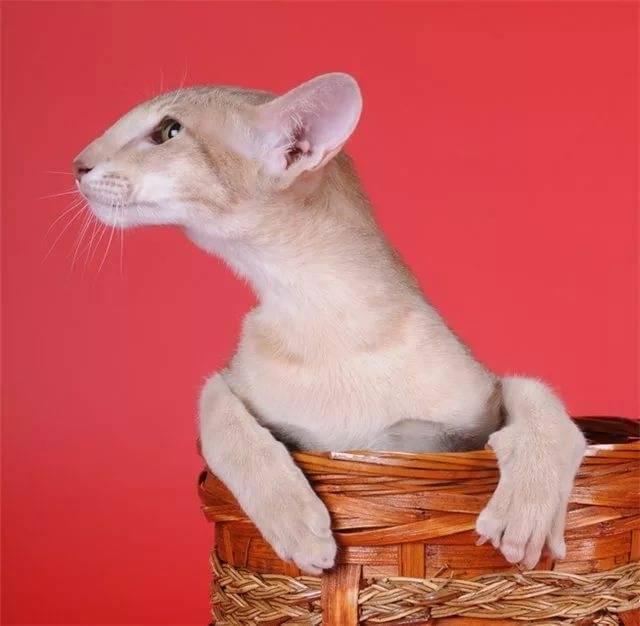 Кошки грузины: ориентальный кот, характер, особенности ухода, история выведения