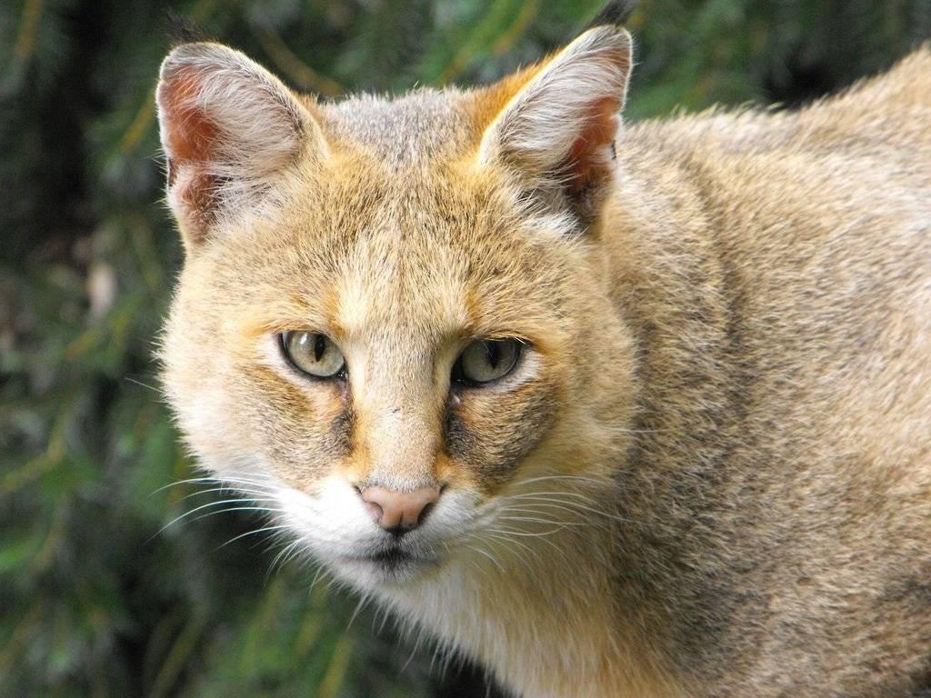 Камышовый кот: места обитания, содержание в домашних условиях
