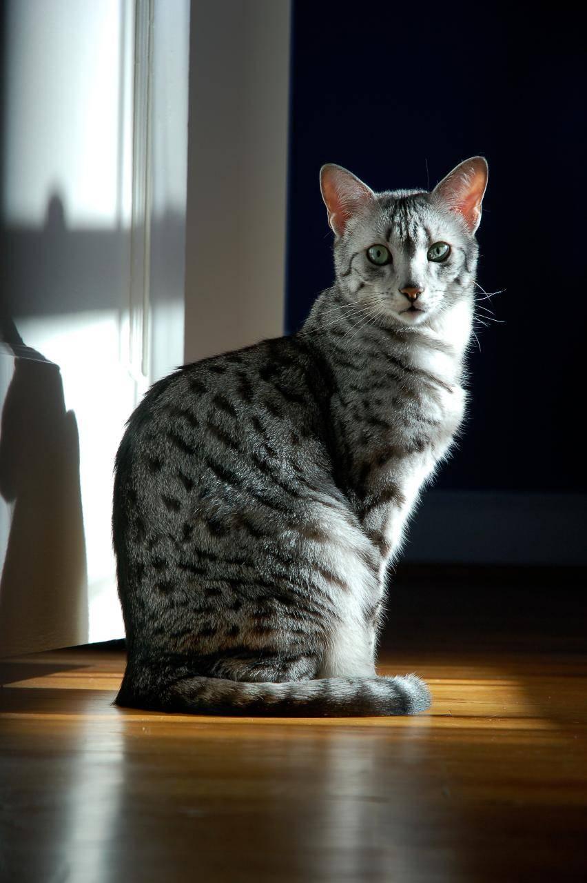 Описание породы кошки египетская мау с фото