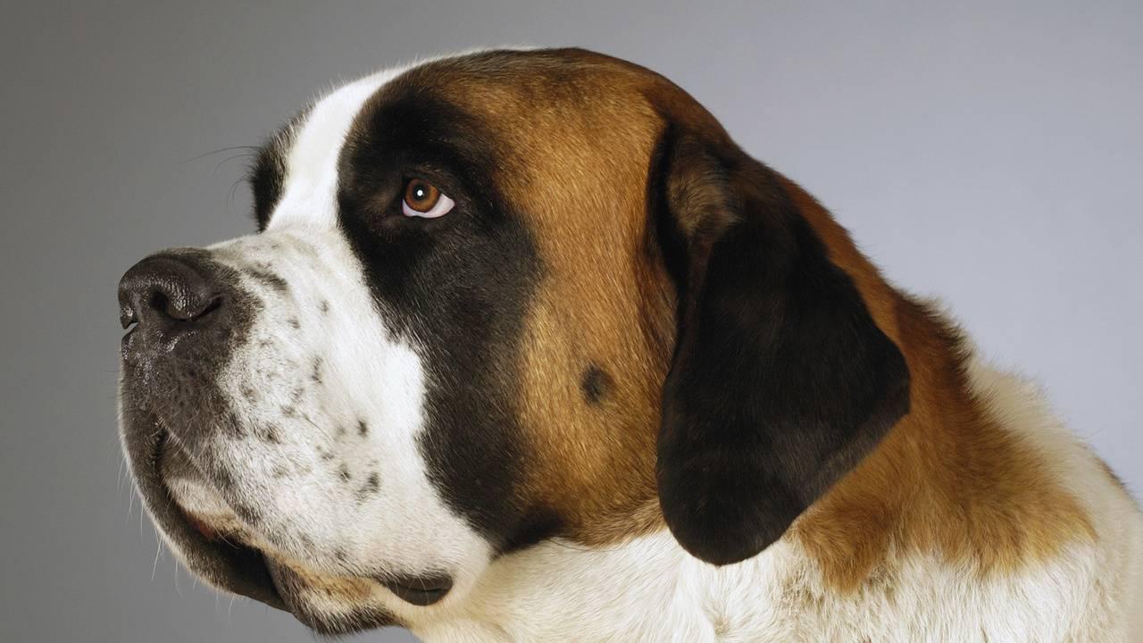 Порода собаки из фильма бетховен