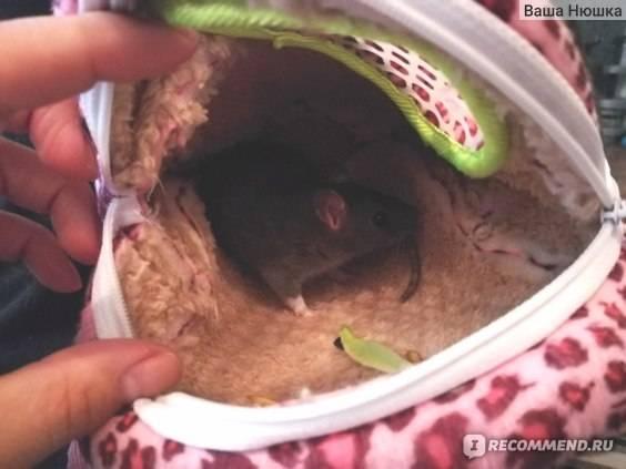 Крыса кусает: почему домашний грызун проявляет агрессию, что делать после укуса