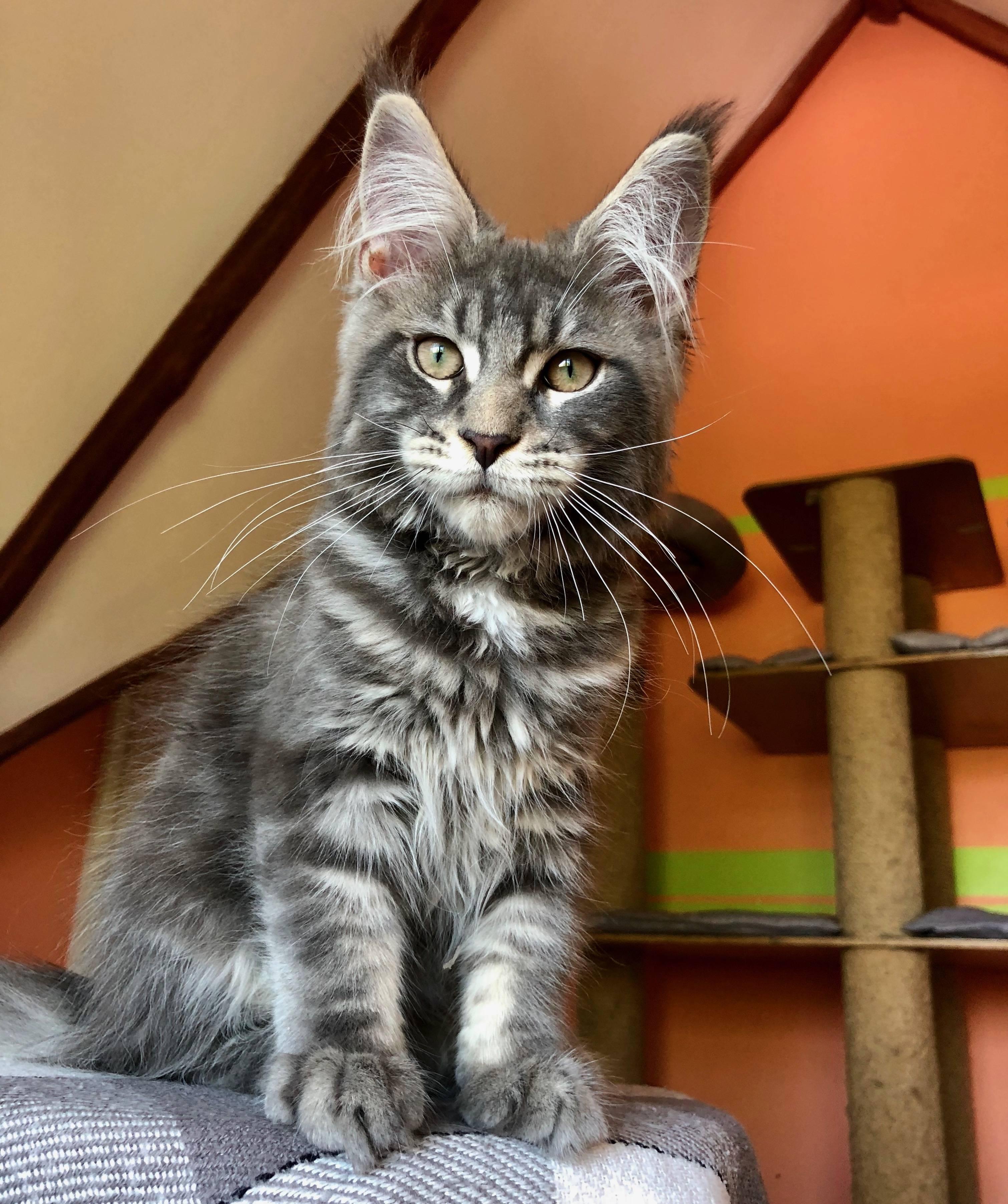 Описание породы мейн-кун: особенности ухода заласковыми кошками-гигантами