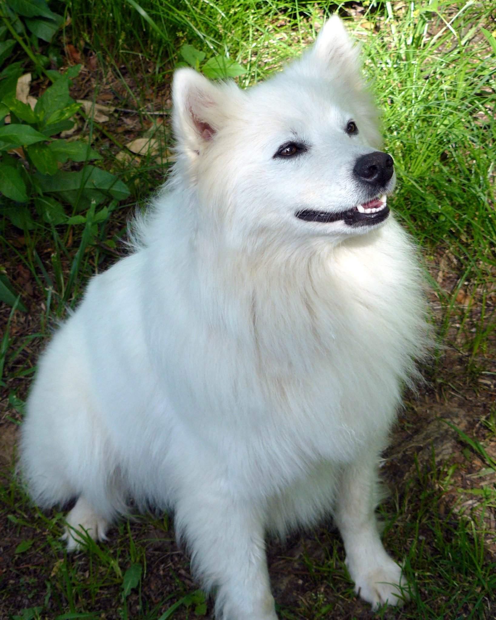 Американский эскимосский шпиц: фото, описание породы, виды, цена