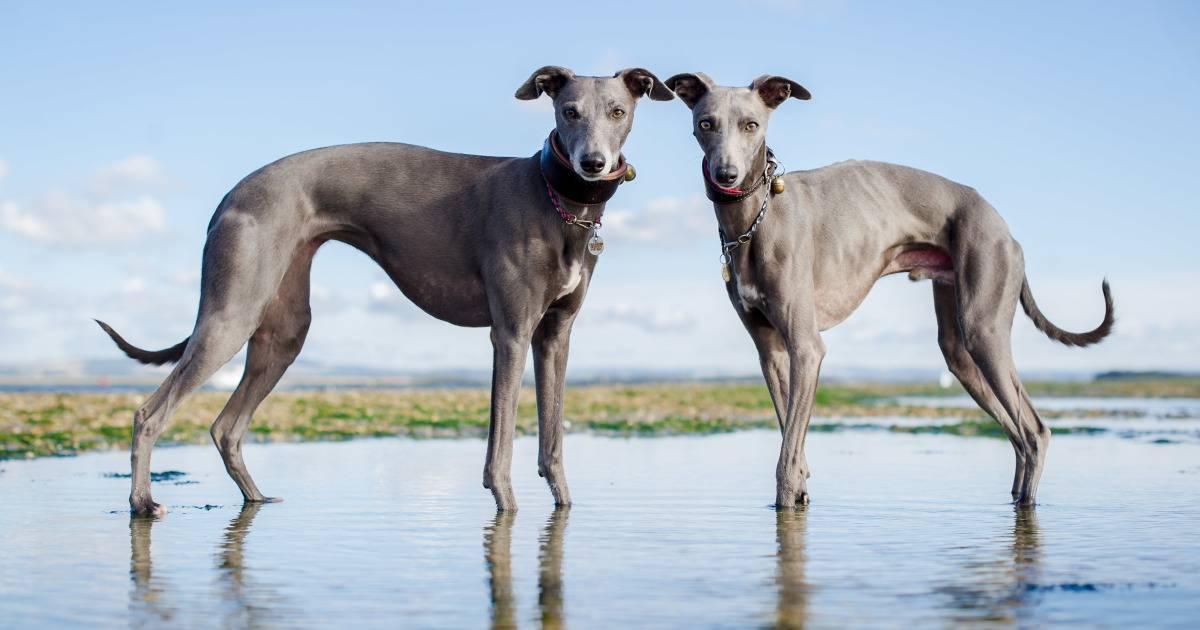 Собака грейхаунд: фото, описание породы и отзывы охотников