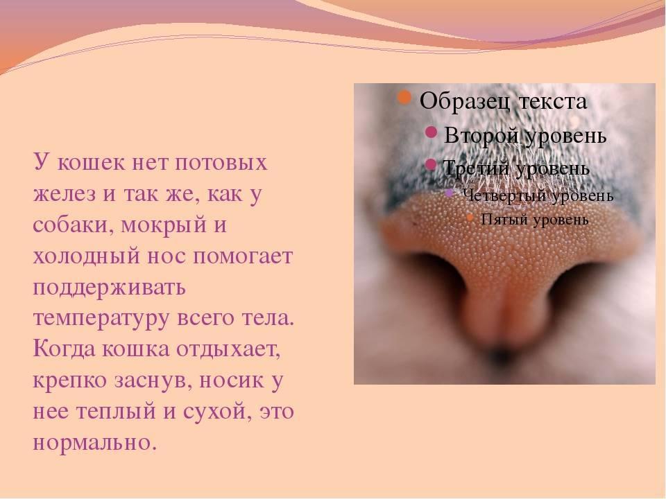 У кошки горячий нос: причины, диагностика, что делать