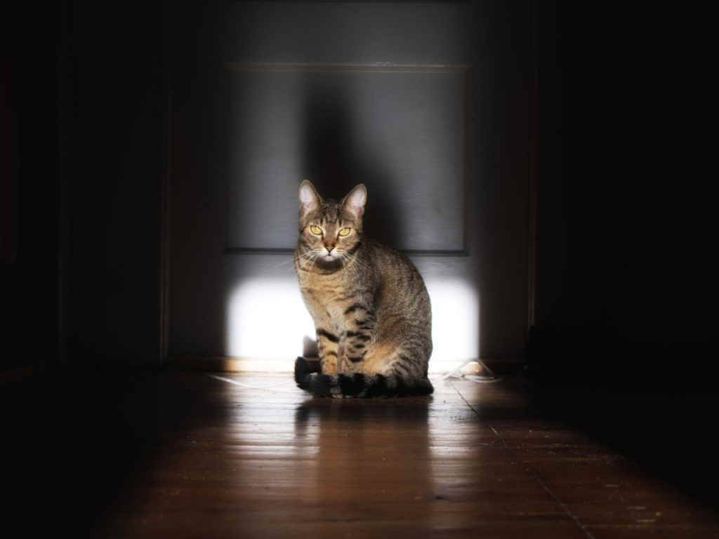 Почему кошки бегают по квартире как ненормальные и постоянно мяукают