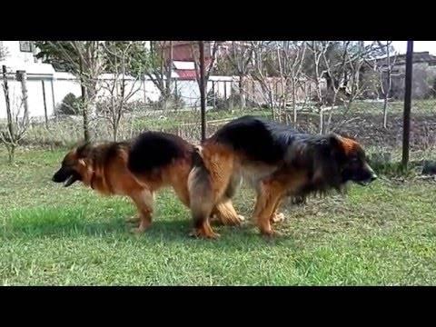 Беременность у собак , лечение ложной щенности, как проходит вязка собак и условия вязки