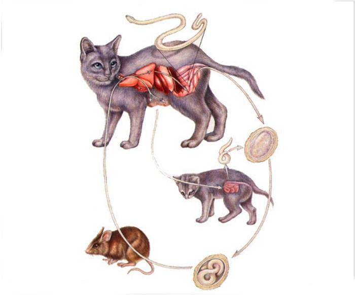 Кошки, цестодозы у кошек, симптомы заболевания и методы лечения