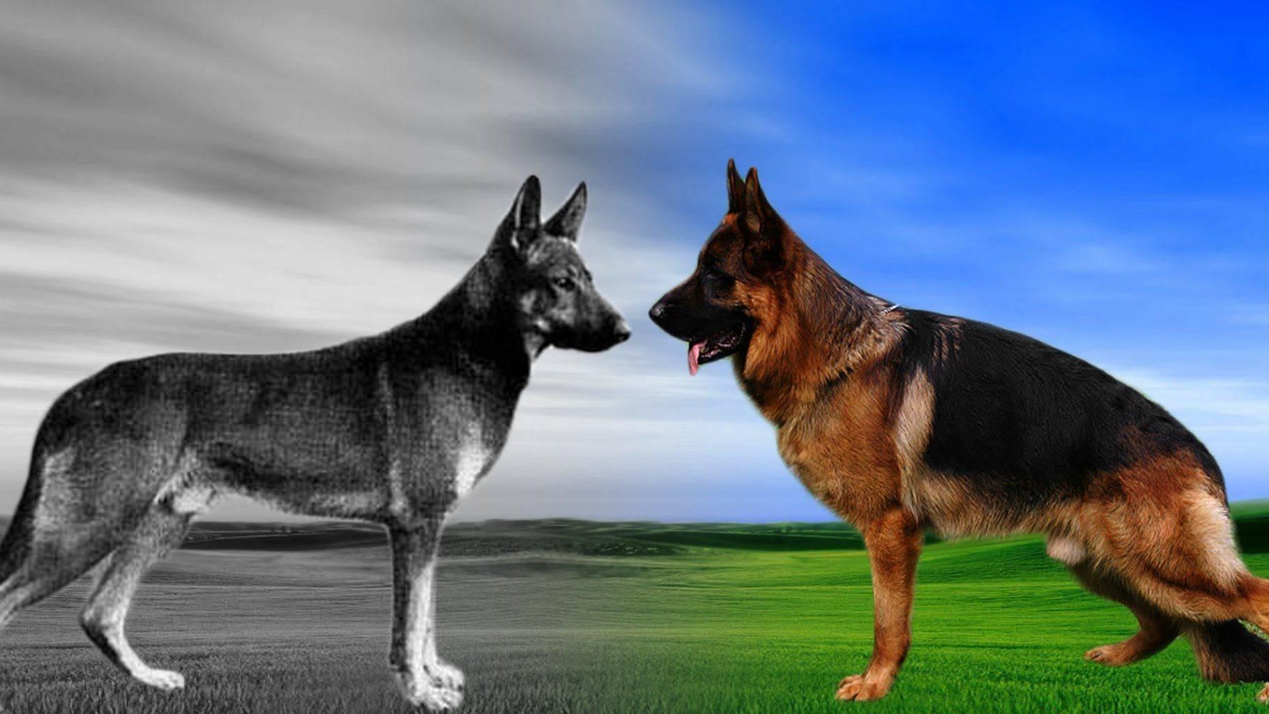 Немецкая овчарка — все о породе, характер, интеллект, уход и содержание