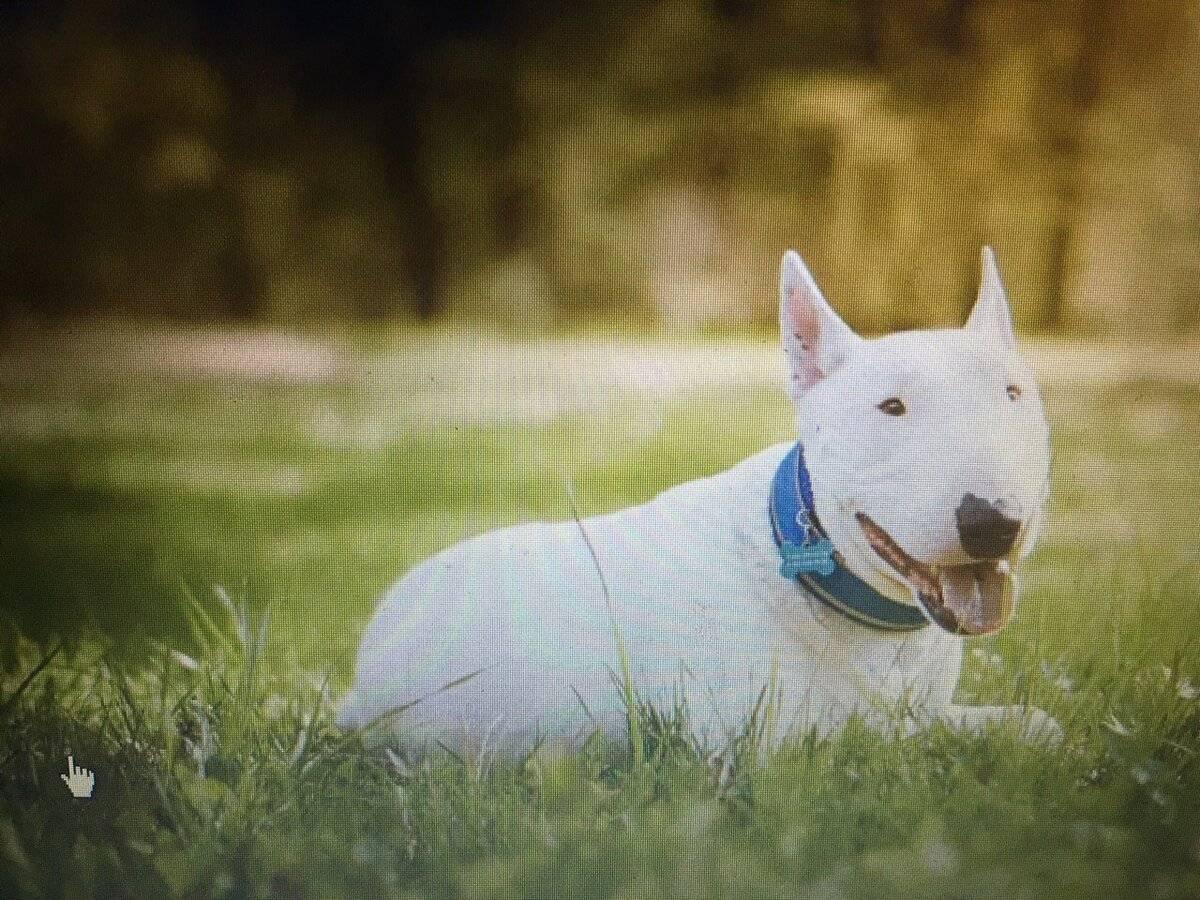 Бультерьеры (42 фото): описание английских собак с крысиной мордой. сколько живут? размеры, тигровый и другие окрасы. история