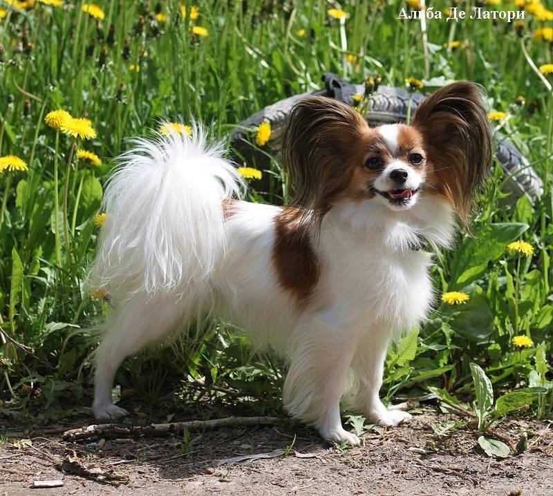 Собаки » породы » папильон (континентальный той-спаниель)