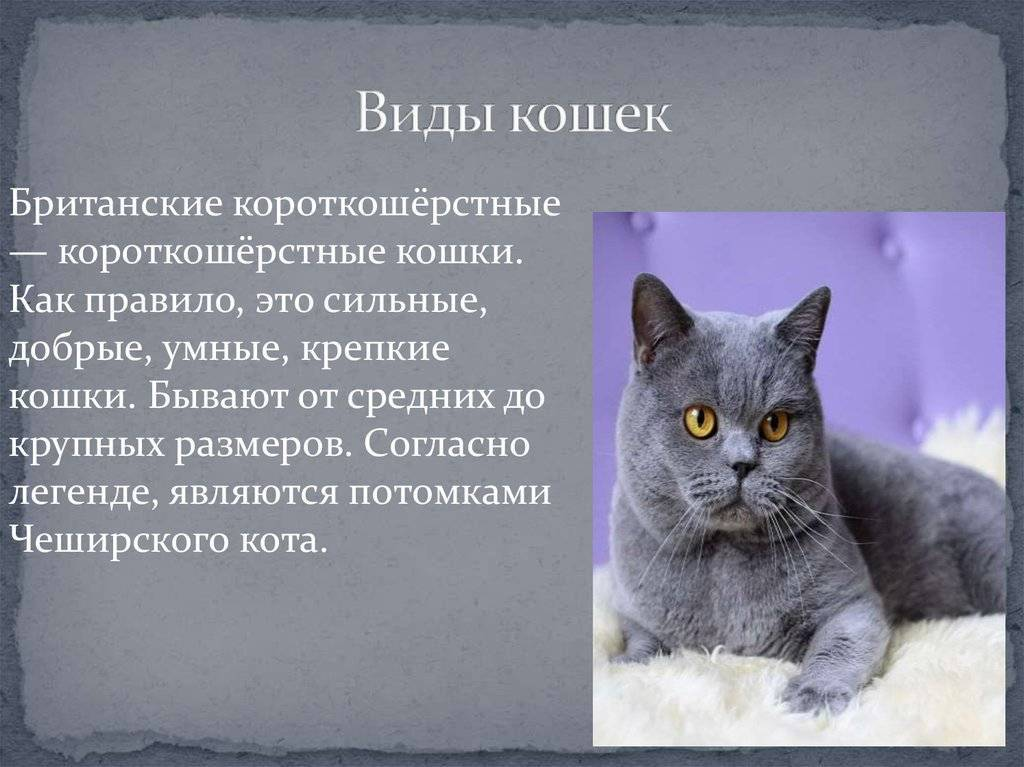 Американская жесткошерстная кошка: фото и описание породы