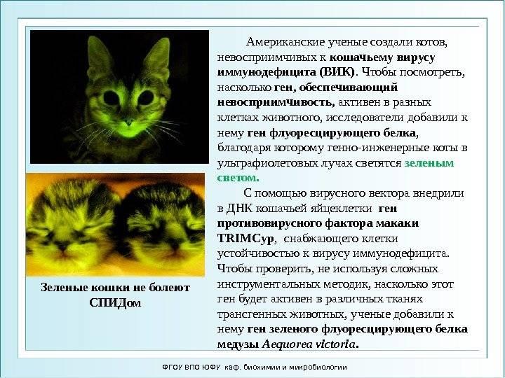 Вирусный иммунодефицит у кошек: симптомы, диагностика, лечение
