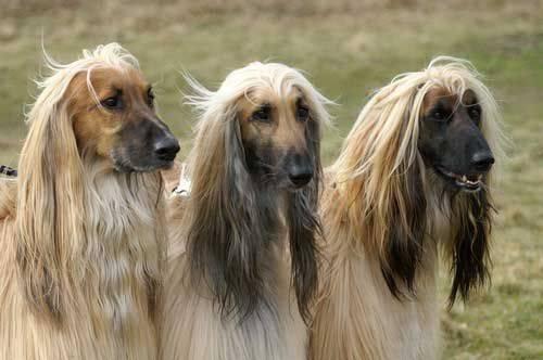Борзый охотник и преданный друг: собака породы афганская борзая