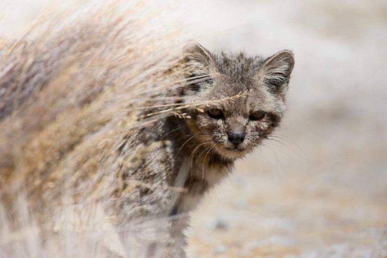 Лесной кот (европейская дикая кошка): ареал обитания