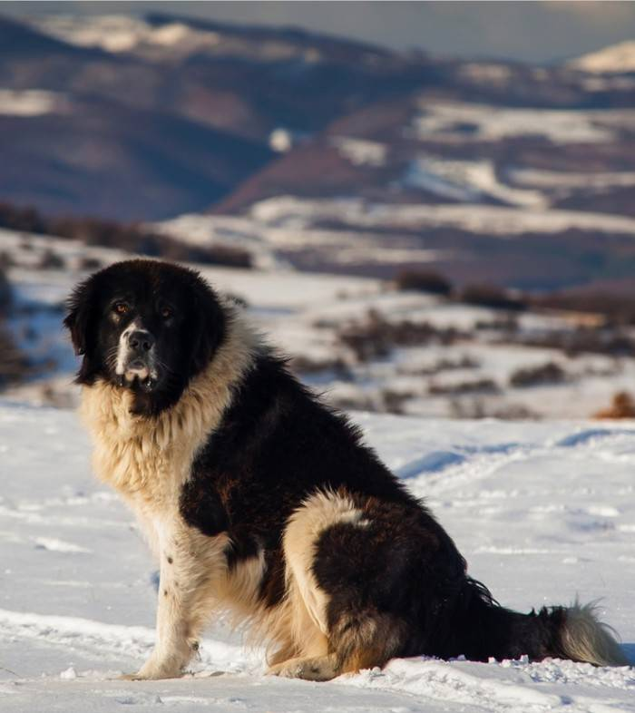 Овчарки: популярные виды породы собак с фото и описаниями овчарки: популярные виды породы собак с фото и описаниями