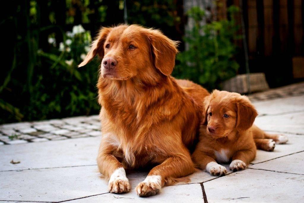 Новошотландский ретривер (толлер) – особенности и содержание за породой собак, + фото