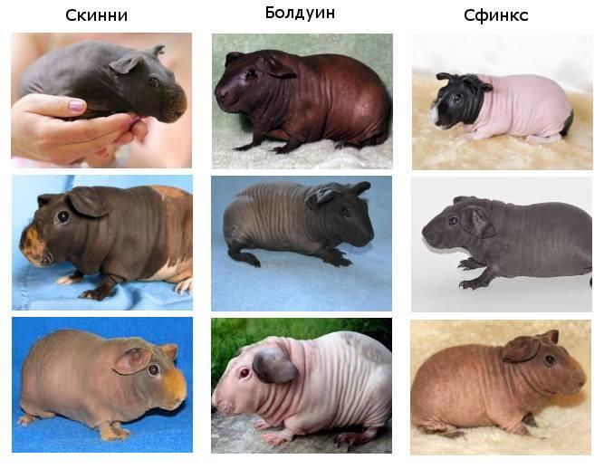 Морские свинки скинни: особенности породы, уход и содержание