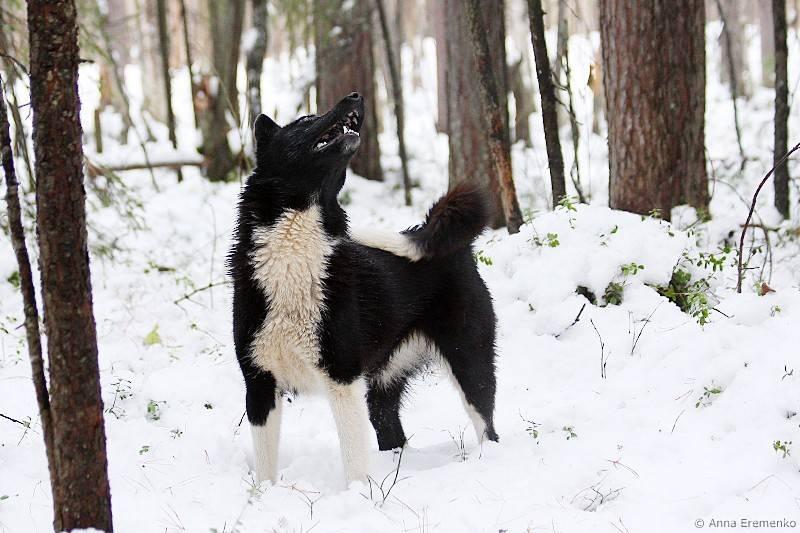 Карельская медвежья собака: описание породы и характер, уход и воспитание, выбор собачки в питомнике