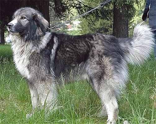 Румынская миоритская овчарка: характеристика и описание породы (с фото) | все о собаках