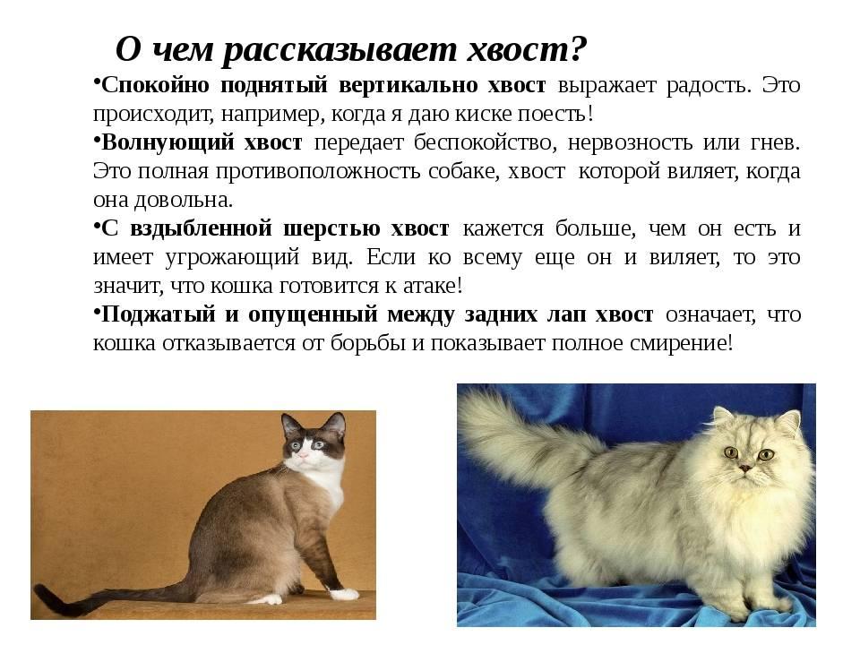 "О чем ""говорит"" кошачий хвост: разбираем все положения | gafki.ru | яндекс дзен"
