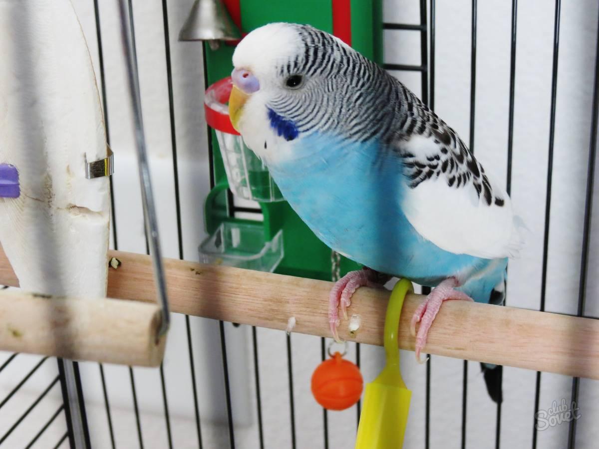 Как научить попугая разговаривать за 5 минут: обучение птицы, видео