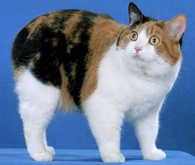 Кошки » породы » мэнкс (мэнская кошка)
