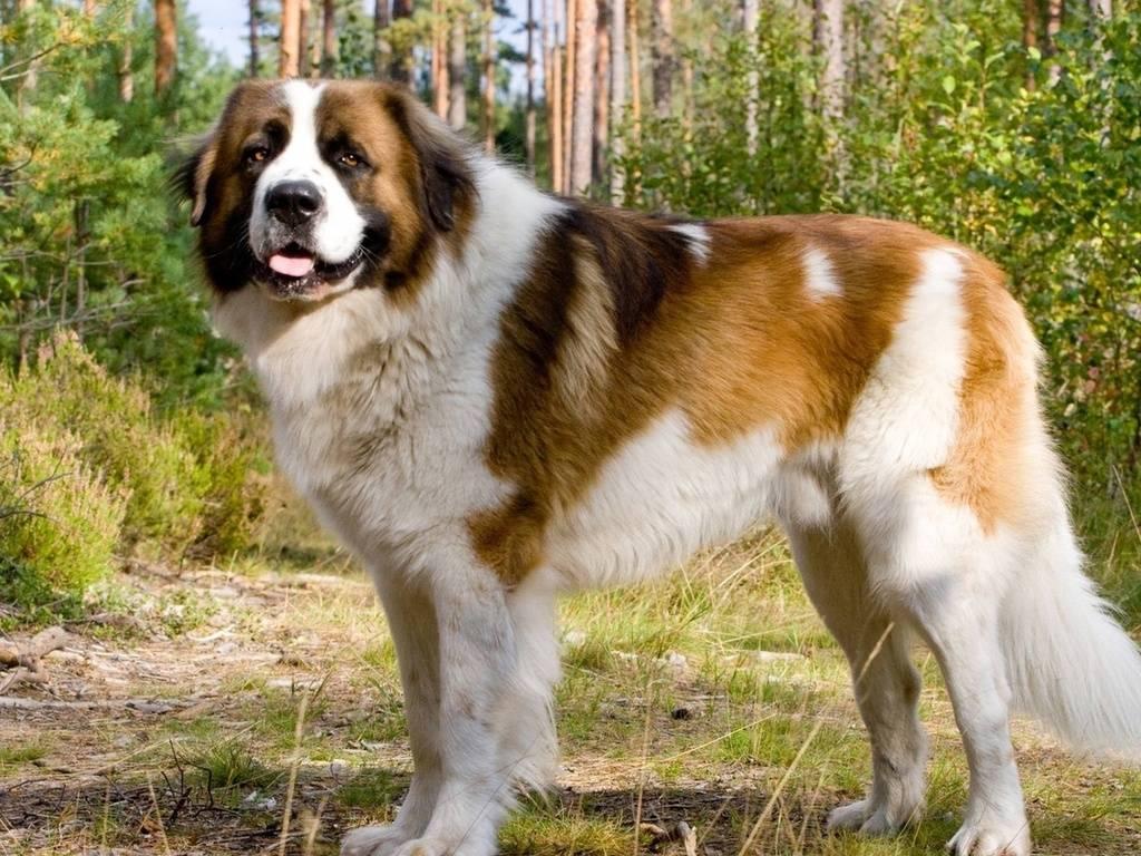 Московская сторожевая собака - характеристика и описание породы, содержание