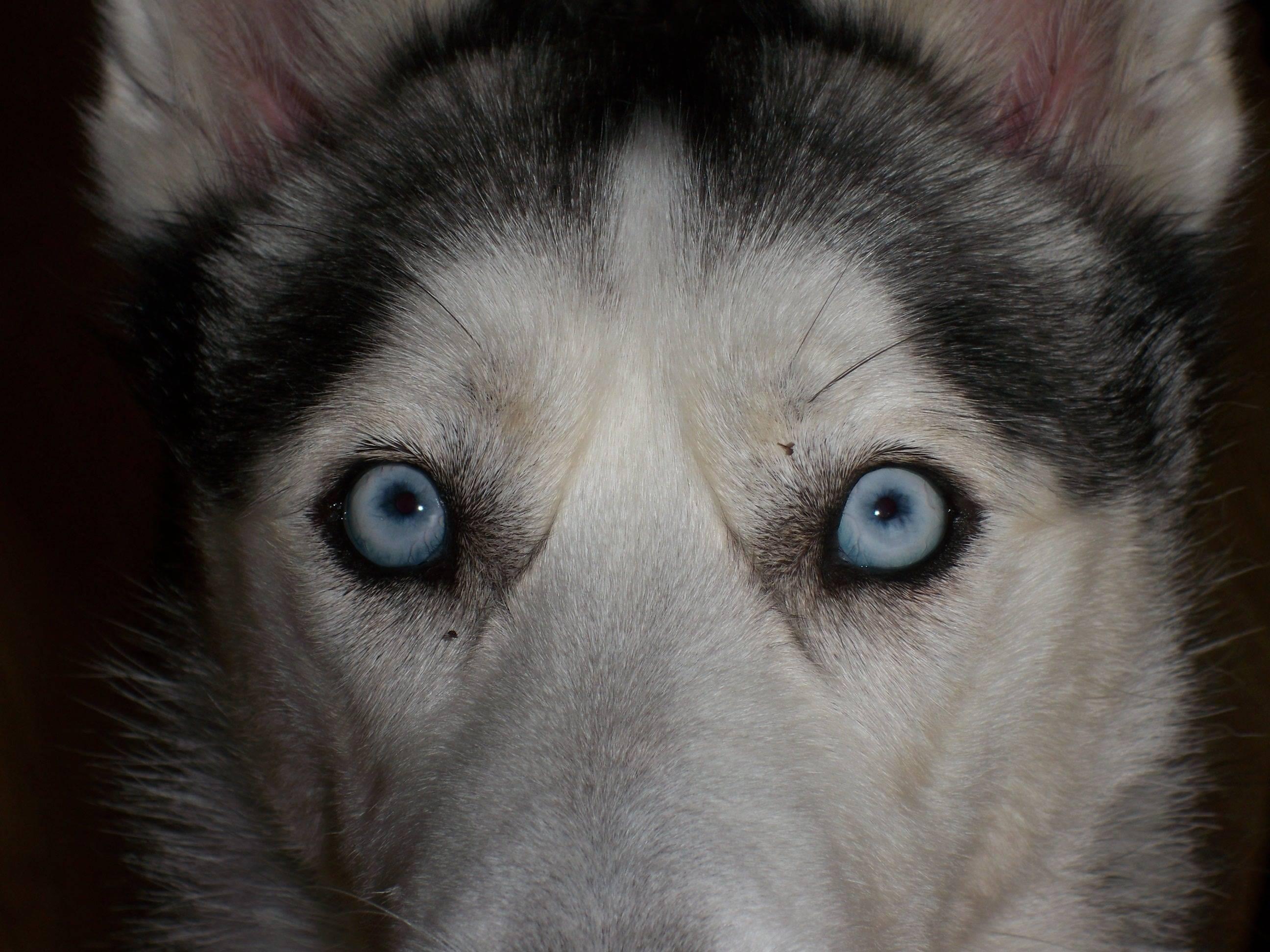 Глаза хаски - питомник husky fund