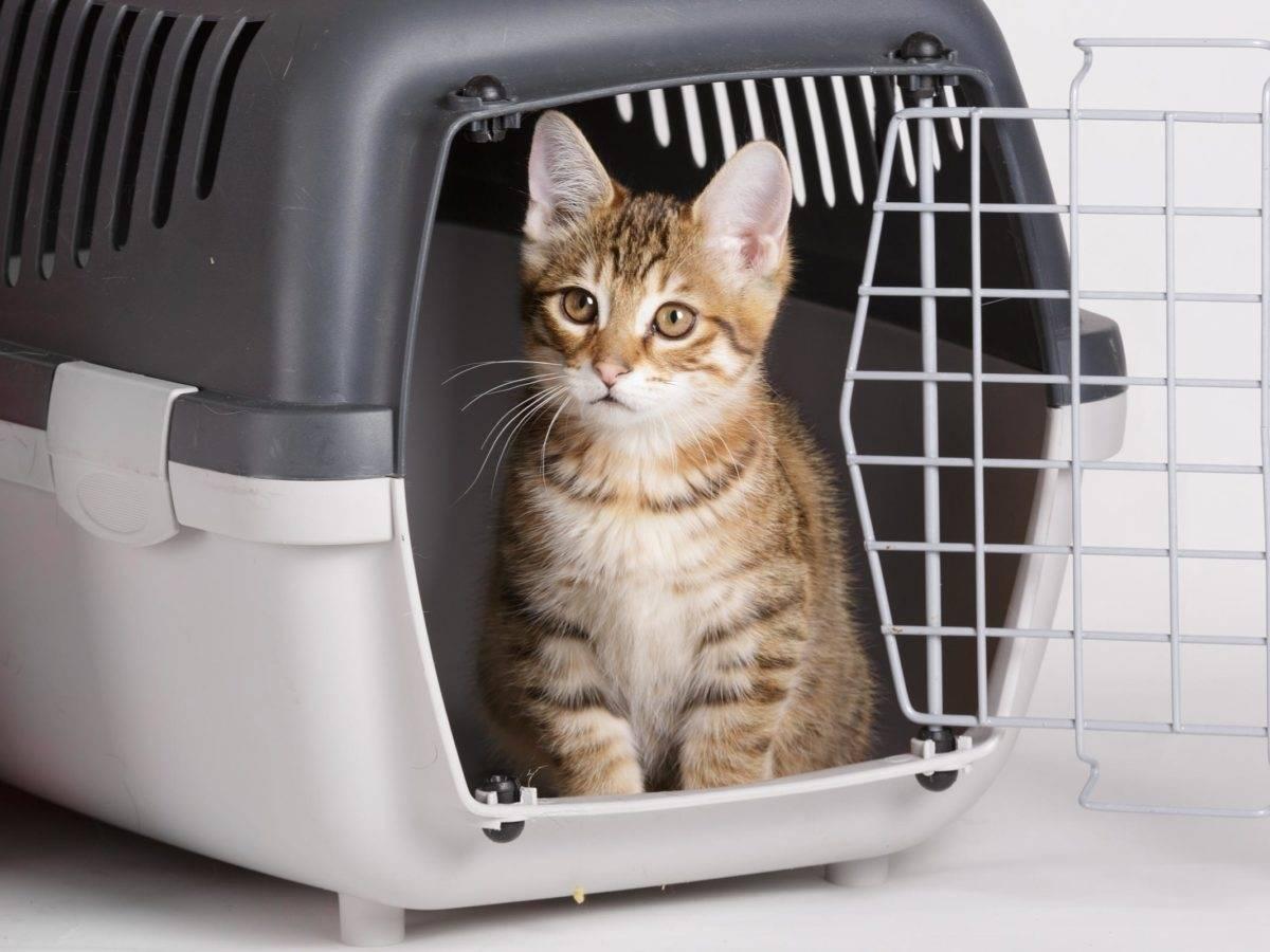 Как перевезти кошку в самолете, на поезде и автомобилем: правила и советы