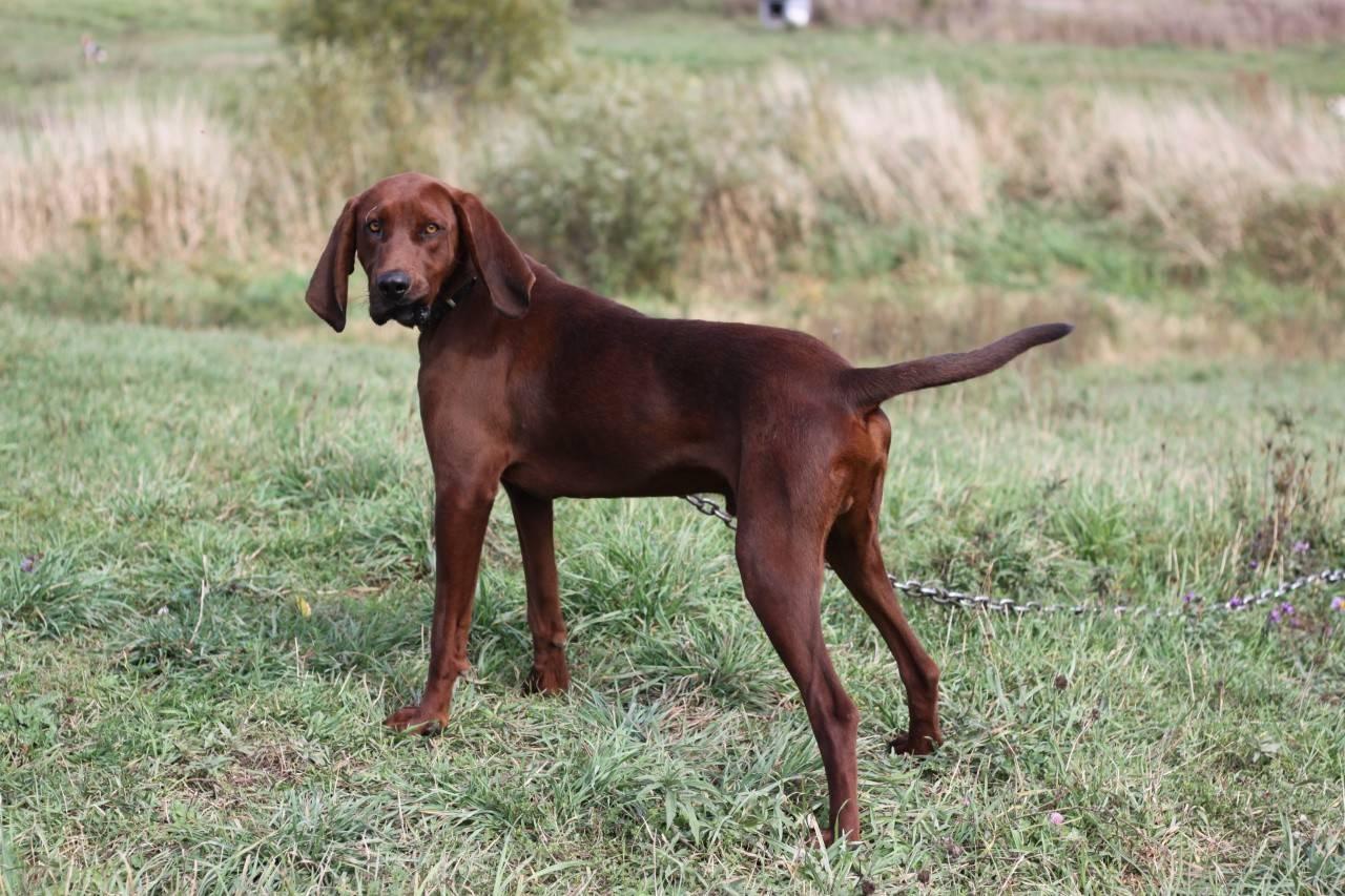Охотничьи породы собак: фотографии с названиями