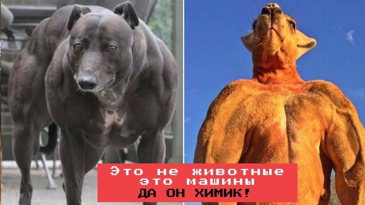 Самая большая собака в мире — топ 10 с фото и их особенностями