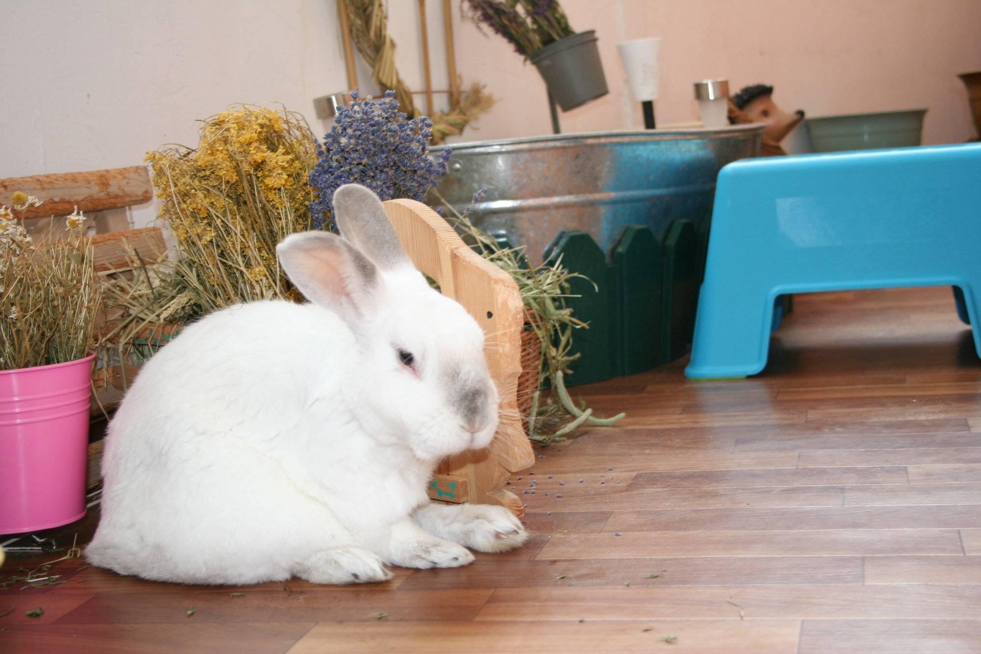 Декоративный кролик в домашних условиях - содержание, кормление, болезни